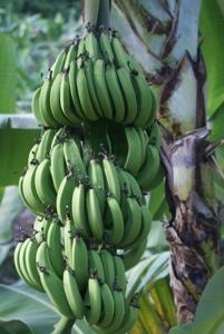 Figs (Bananas)